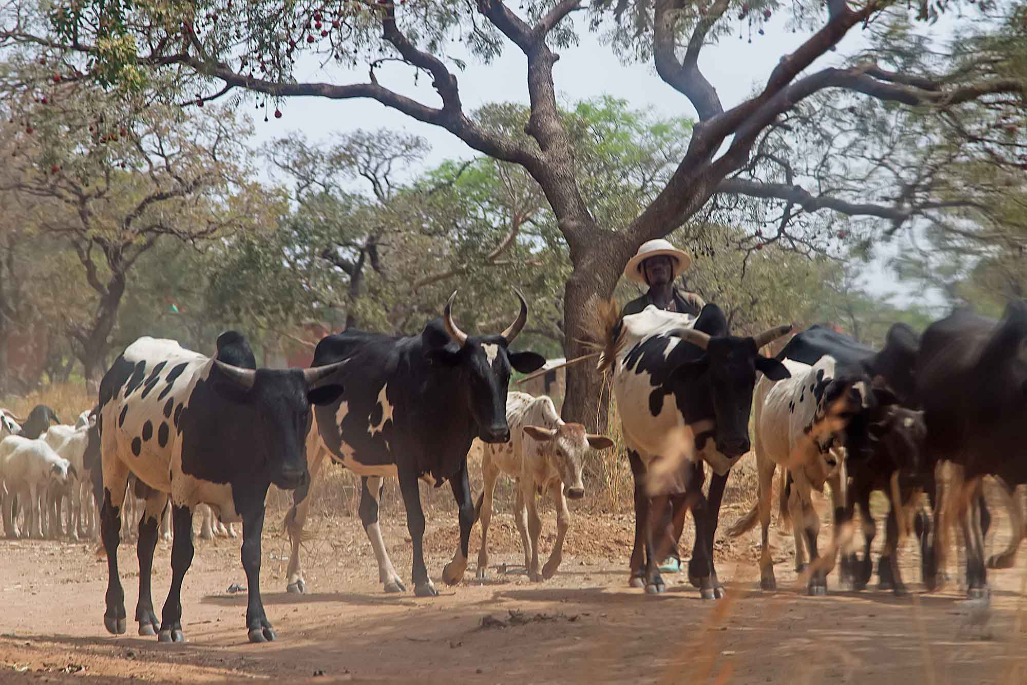 a-man-herding-his-cattle-banfora-burkina-faso-africa