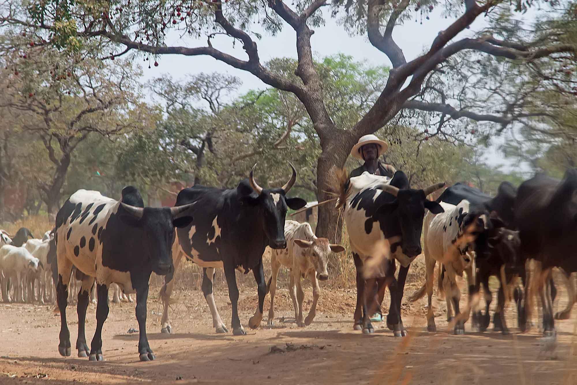 a-man-herding-his-cattle-banfora-burkina-faso-africa