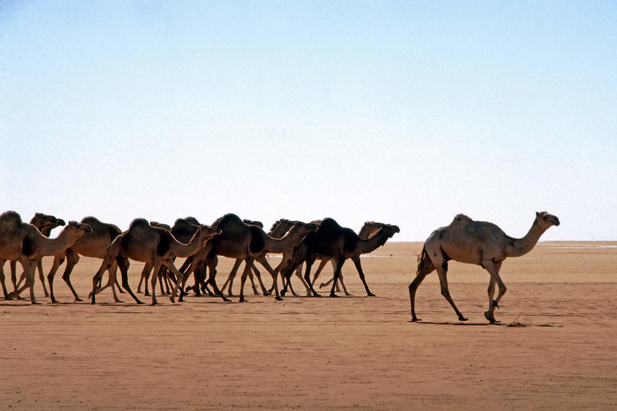 Perfect Camel Caravan