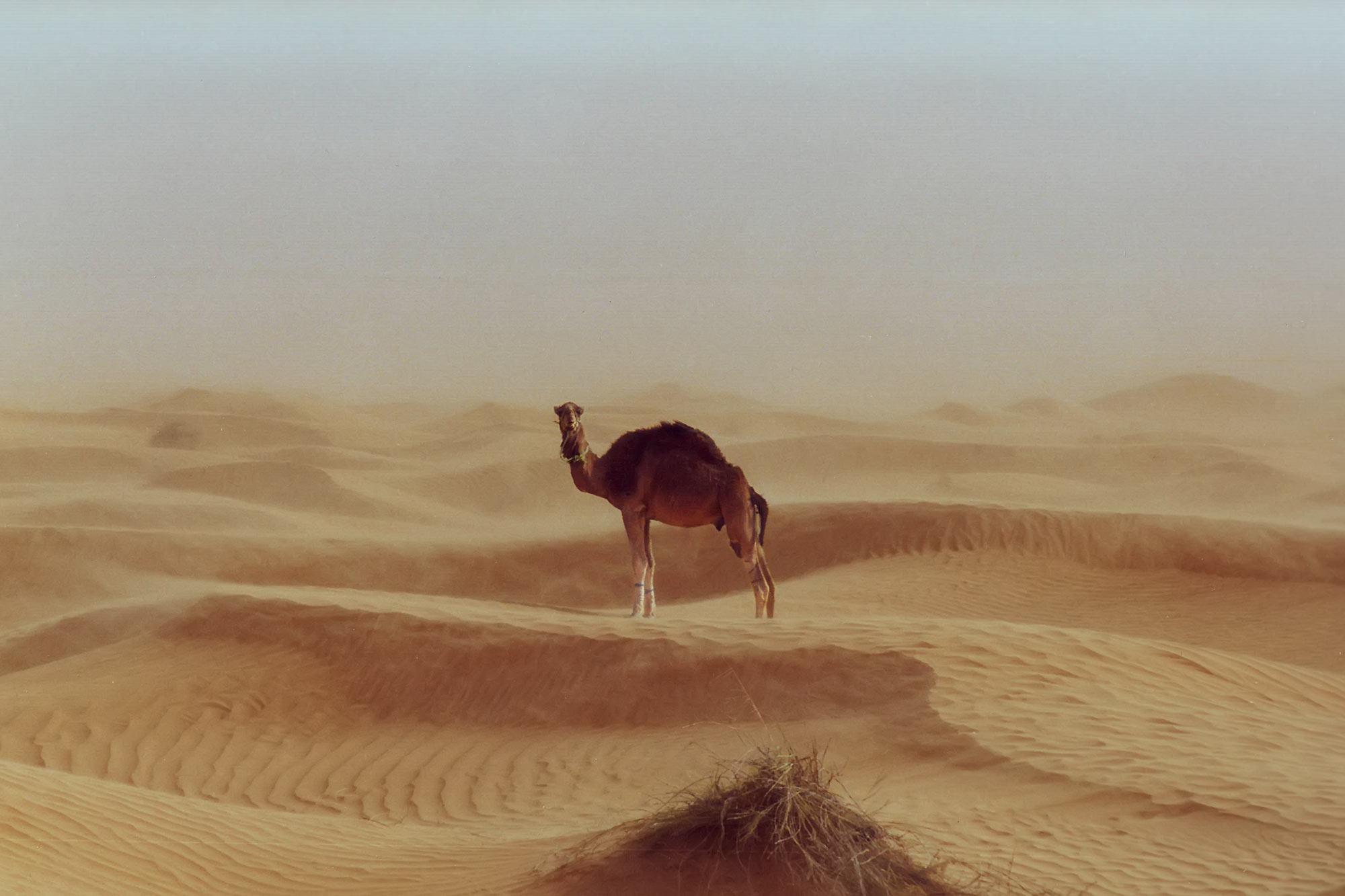 camel-tunisia-desert-sahara-africa