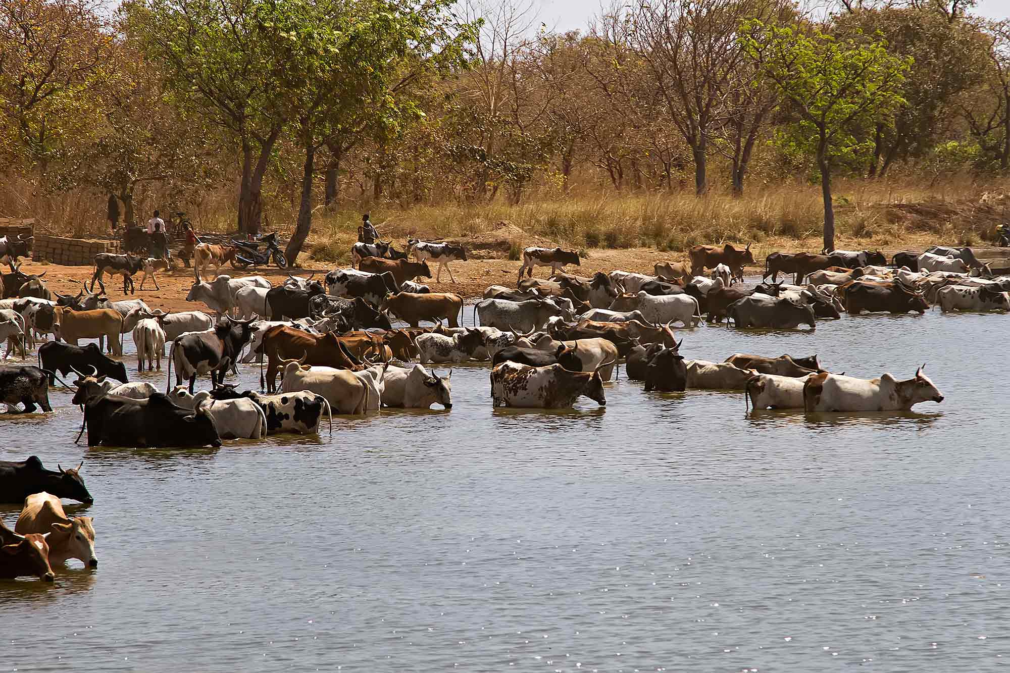 cattle-banfora-lake-burkina-faso-africa