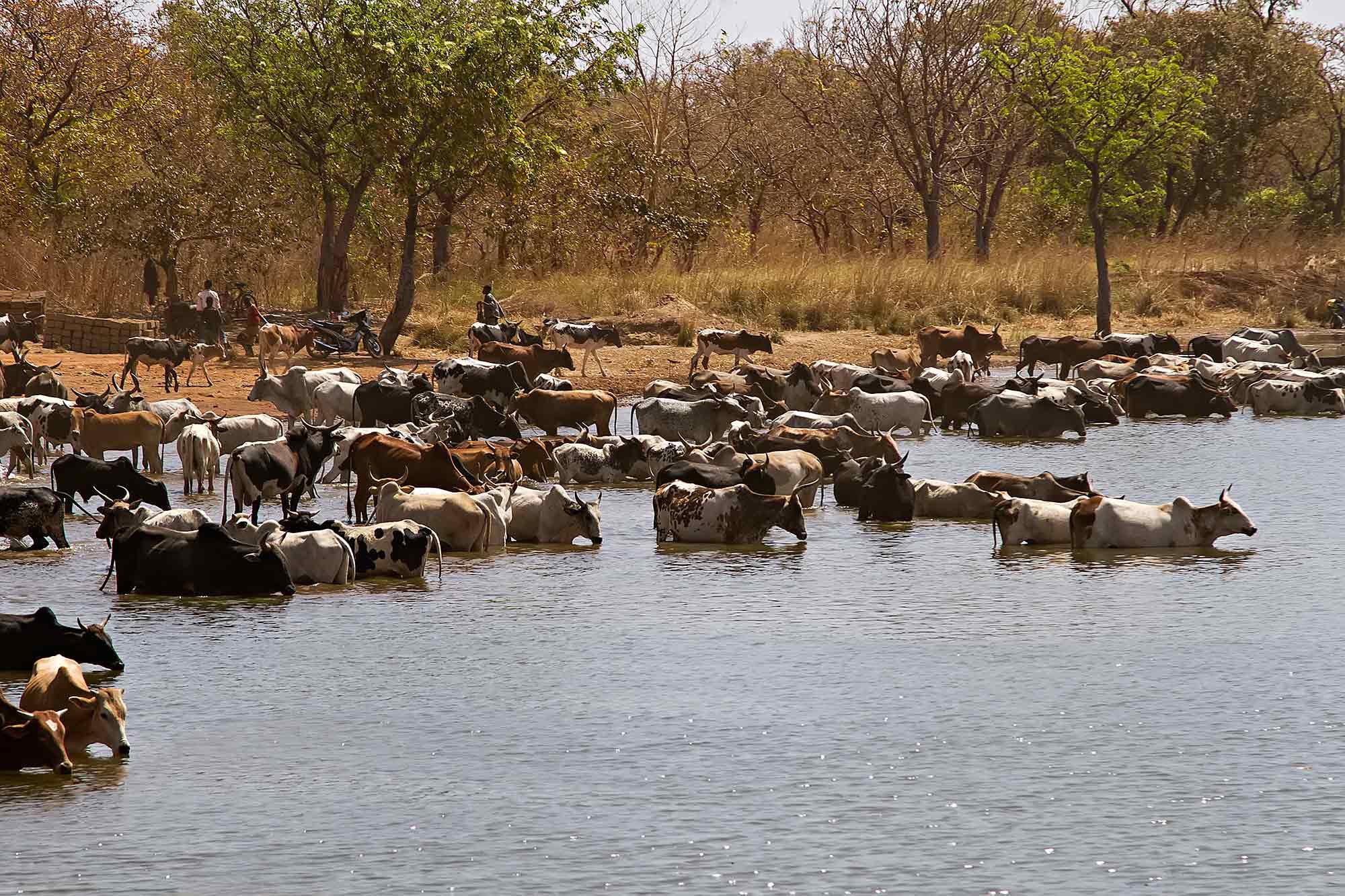 cattle-banfora-lake-burkina-faso-africa