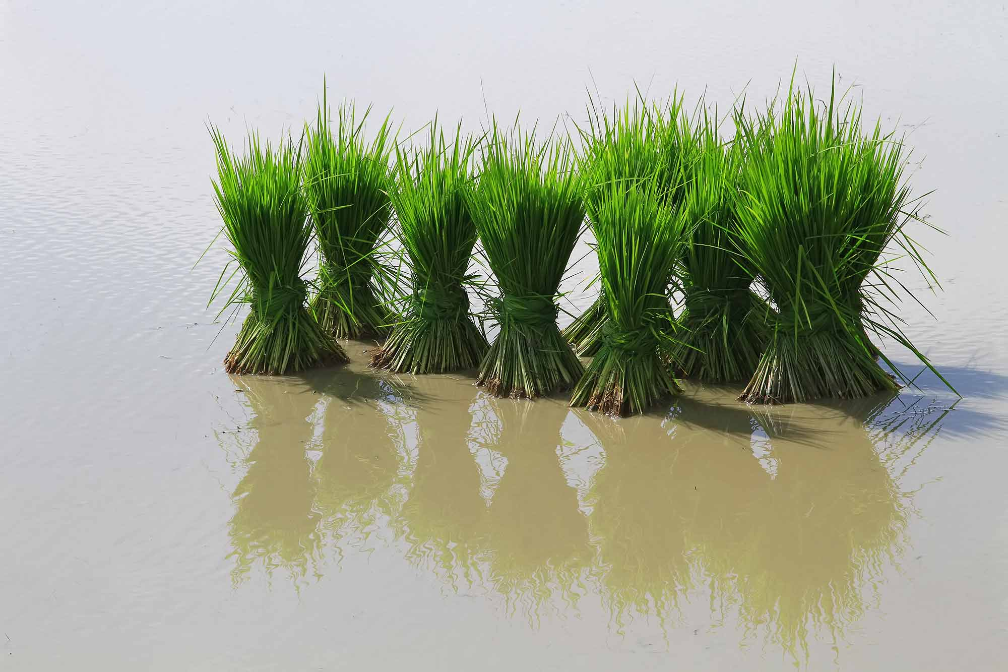 Harvested rice in Galachipa. © Ulli Maier & Nisa Maier