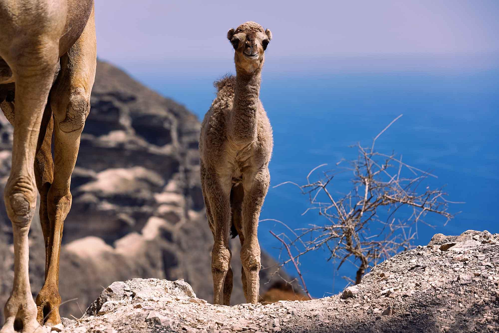 Camels west of Salalah. © Ulli Maier & Nisa Maier