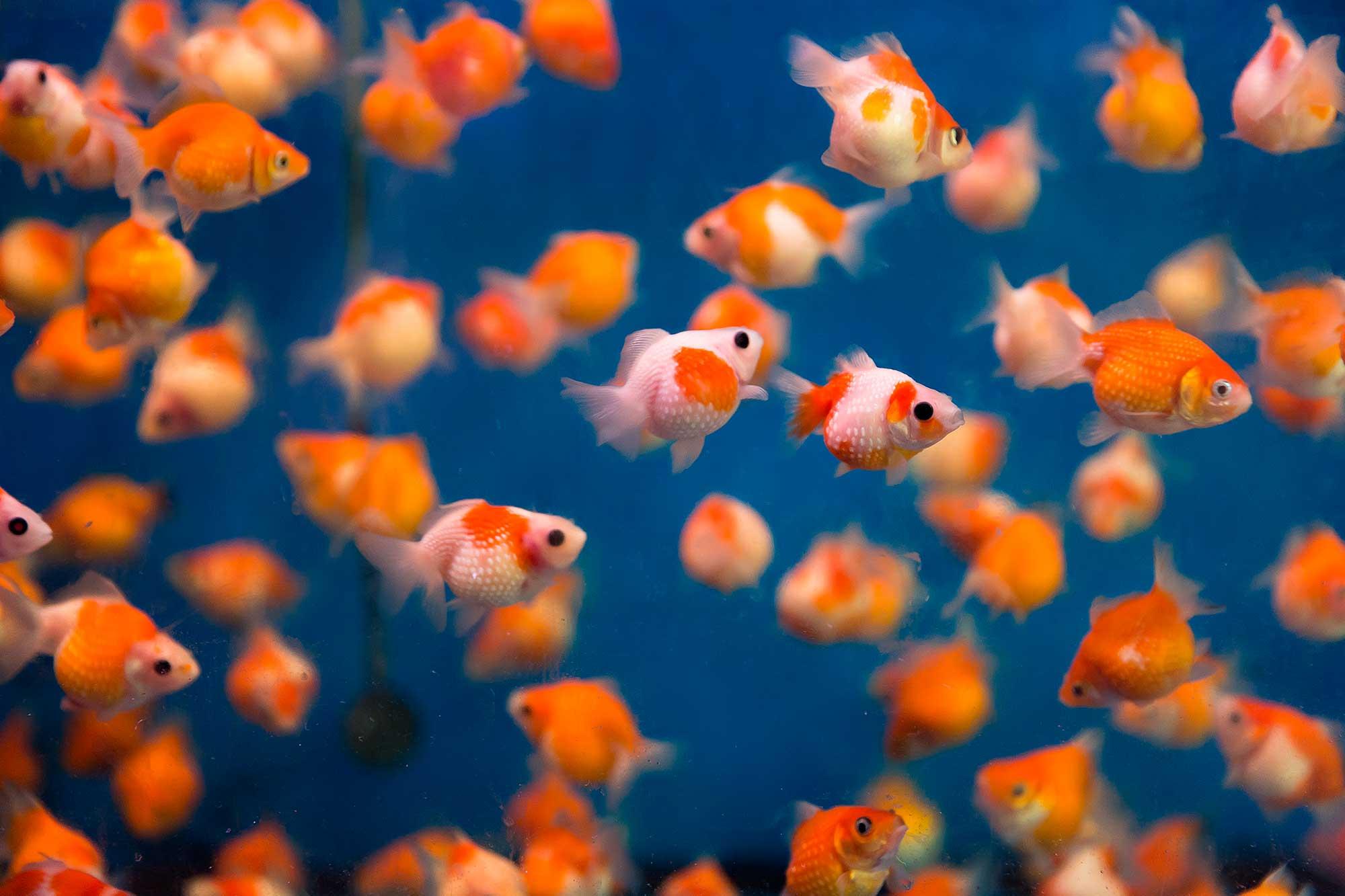 Goldfish in Goldfish street, Hong Kong. © Ulli Maier & Nisa Maier