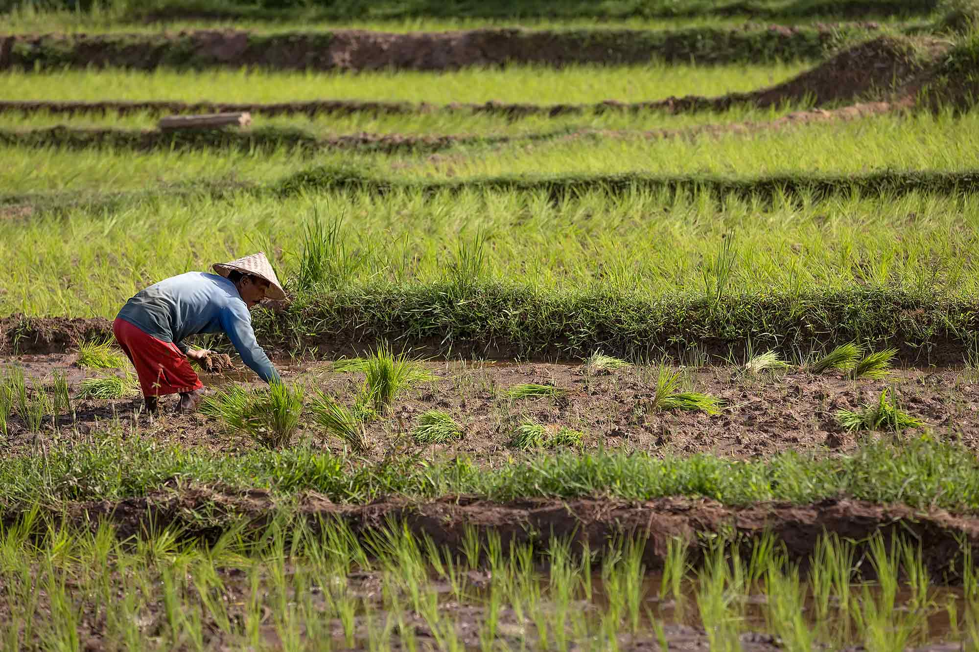 Working in the rice fields in West Sumatra, Indonesia. © Ulli Maier & Nisa Maier
