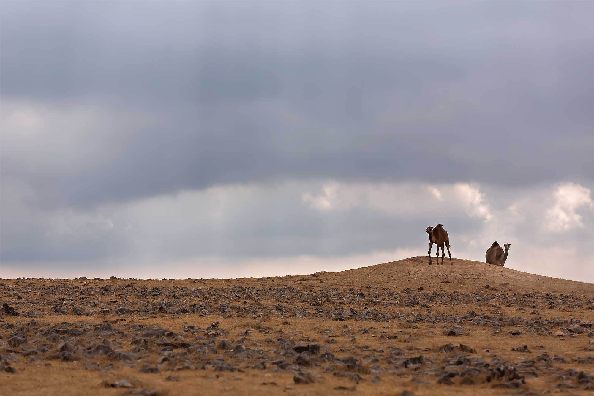 Camels in the desert of Oman. © Ulli Maier & Nisa Maier