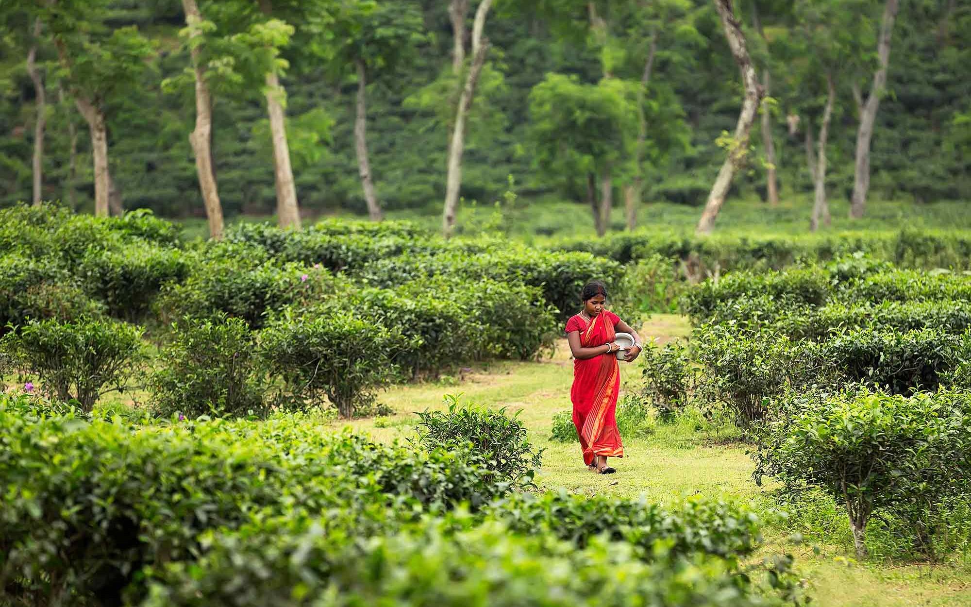 tea-plantation-sylhet-bangladesh