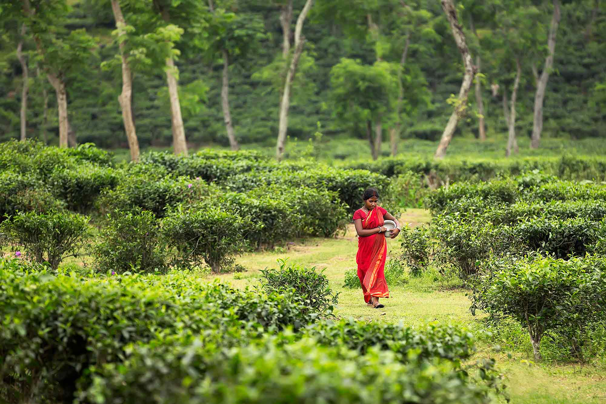 Walking through the tea plantations in Sylhet, Bangladesh. © Ulli Maier & Nisa Maier