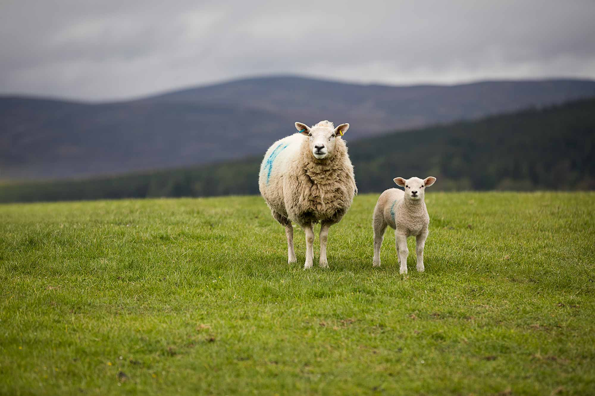 Scotland is home to almost seven million sheep and less than six million people. © ULLI MAIER & NISA MAIER