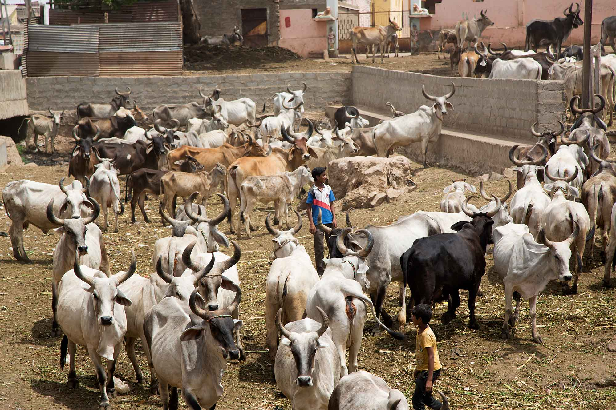 cows-market-bhuj-gurajat-india
