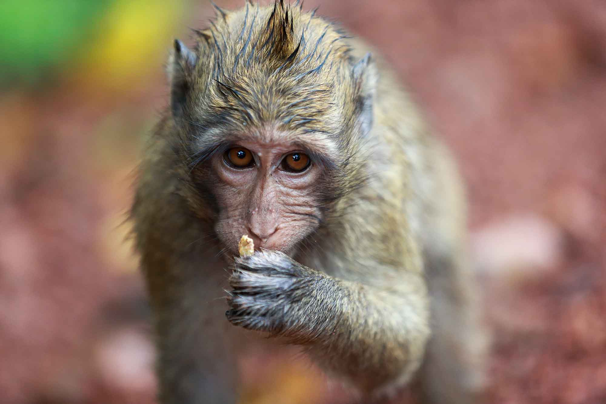 monkey-angkor-wat-cambodia