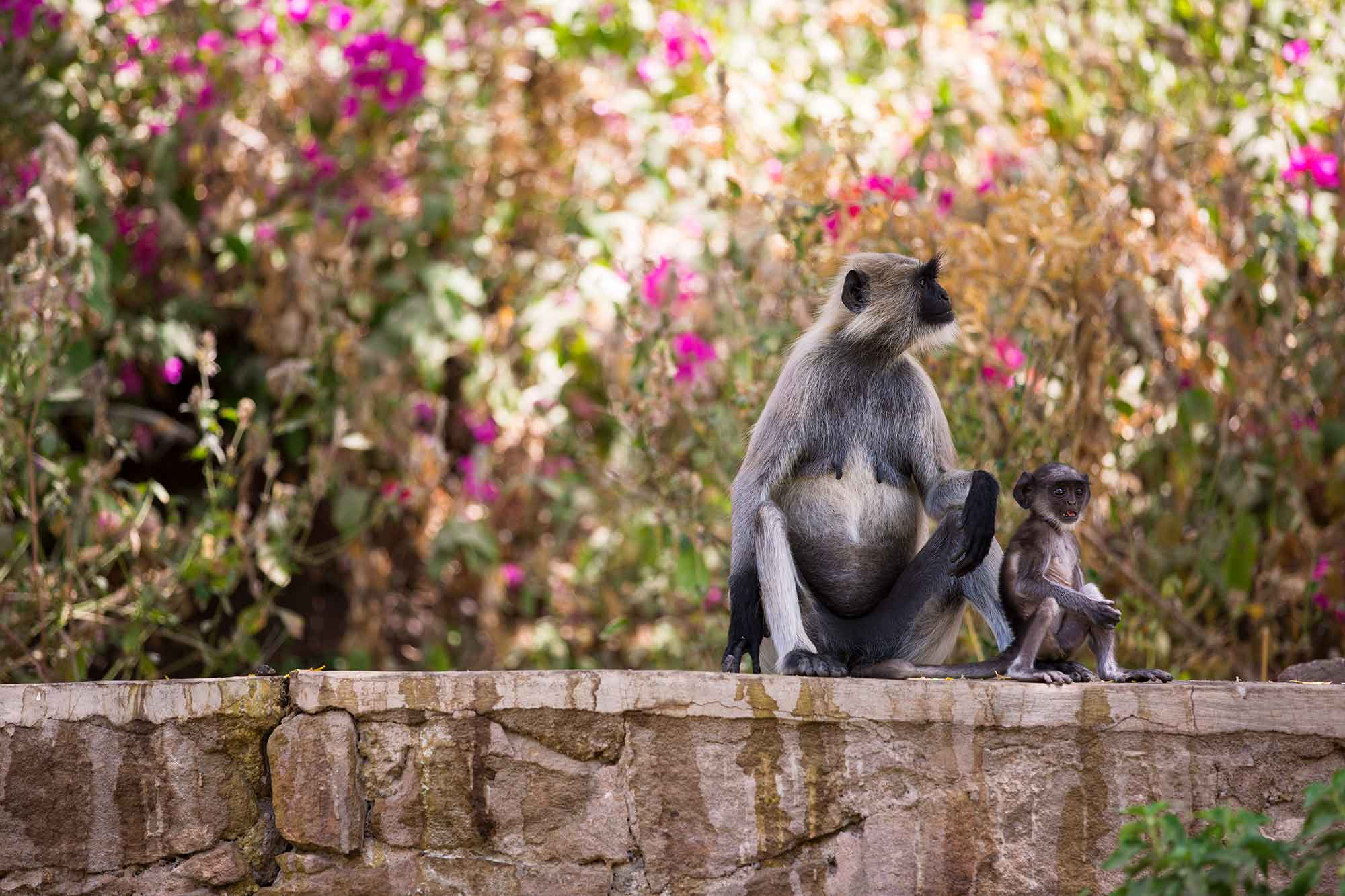 monkeys-jodhpur-temple-india
